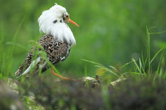 Ruff. The female of ruff in breeding plumage Royalty Free Stock Images