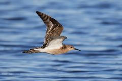 Ruff Philomachus pugnax. Ruff in flight with blue water in the background Stock Photography