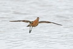 Ruff Philomachus pugnax. Ruff in flight with blue water in the background Stock Photo