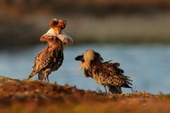 Ruff - mâles de pugnax de Philomachus Photo libre de droits