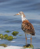 Ruff male resting on rock Royalty Free Stock Images