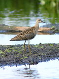 Ruff among marshy thickets in the North of Siberia Stock Photography