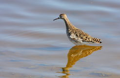 Ruff (philomachus pugnax). Standing in water Royalty Free Stock Images