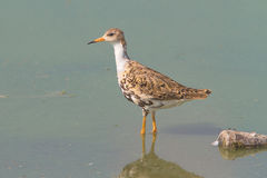 Ruff / Philomachus pugnax. A Ruff searching for food in the shallow water of a lake Stock Photography