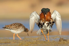 Ruff. Philomachus pugnax. Royalty Free Stock Photo