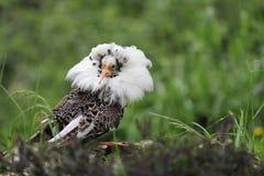 Ruff. (Philomachus pugnax) in breeding plumage in grass Stock Photos