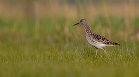 Ruff - Philomachus pugnax / Calidris pugnax - female. At the mating season at the Nemunas river delta, Lithuania Royalty Free Stock Photography