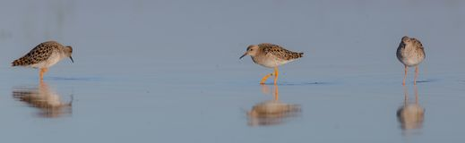 Ruff - Philomachus pugnax / Calidris pugnax - female. At the mating season at the Nemunas river delta, Lithuania Royalty Free Stock Images