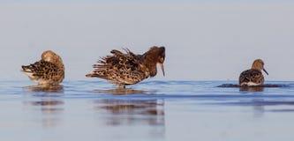 Ruff - Philomachus pugnax / Calidris pugnax - group of birds stock photography