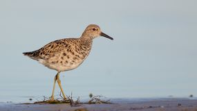 Ruff - Philomachus pugnax / Calidris pugnax - female. At the mating season at the Nemunas river delta, Lithuania Stock Photo