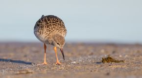 Ruff - Philomachus pugnax / Calidris pugnax - female. At the mating season at the Nemunas river delta, Lithuania Royalty Free Stock Image