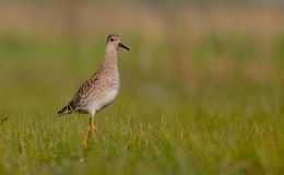 Ruff - Philomachus pugnax / Calidris pugnax - female. At the mating season at the Nemunas river delta, Lithuania Stock Image
