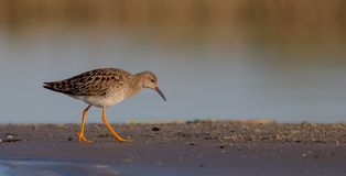 Ruff - Philomachus pugnax / Calidris pugnax - female. At the mating season at the Nemunas river delta, Lithuania Stock Photos