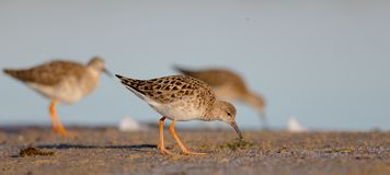 Ruff - Philomachus pugnax / Calidris pugnax - female. At the mating season at the Nemunas river delta, Lithuania Stock Images