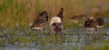 Ruff - Philomachus pugnax / Calidris pugnax. Group of birds on the mating season at the Nemunas river delta, Lithuania Stock Photos