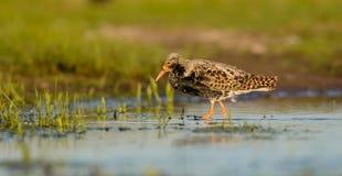 Ruff - Philomachus pugnax / Calidris pugnax - male. At the mating season at the Nemunas river delta, Lithuania Stock Photos