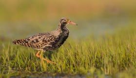 Ruff - Philomachus pugnax / Calidris pugnax - male. At the mating season at the Nemunas river delta, Lithuania Royalty Free Stock Photography