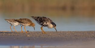 Ruff - Philomachus pugnax / Calidris pugnax. Group of birds on the mating season at the Nemunas river delta, Lithuania Stock Images