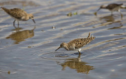 Ruff (Philomachus pugnax) with Dripping Water Stock Image