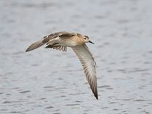 Ruff Philomachus pugnax. Ruff in flight with water in the background Royalty Free Stock Photography
