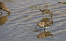 Ruff (Philomachus pugnax). A ruff is hunting on a pond Royalty Free Stock Photos
