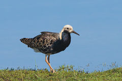 Ruff (Philomachus pugnax) Royalty Free Stock Photo