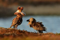 Ruff - Philomachus pugnax males. Ruff - Philomachus pugnax male flying in breeding plumage in the lek in Norway Royalty Free Stock Photo