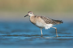Ruff (Philomachus pugnax) Stock Images
