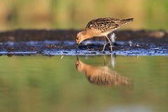 Ruff Philomachus pugnax. The Ruff in the natural enviroment Royalty Free Stock Image