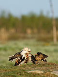 Ruff (Philomachus pugnax). Ruffs Lekking Every spring its time to mate. Ruffs have this lekking behavior where they establish their territory and stave off Stock Image