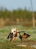 Ruff (Philomachus pugnax) Royalty Free Stock Images