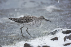 Ruff, Philomachus pugnax,. A single bird standing in snow Stock Photo