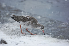 Ruff, Philomachus pugnax,. A single bird standing in snow Royalty Free Stock Image