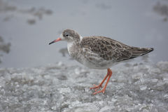 Ruff, Philomachus pugnax,. A single bird standing in snow Royalty Free Stock Photography