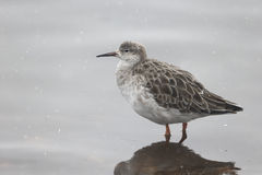 Ruff, Philomachus pugnax. Single bird in water, Lancashire, February 2013 Stock Photography