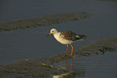 Ruff, Philomachus pugnax,. Single bird in water, Tanzania Royalty Free Stock Images