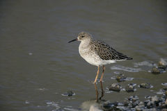 Ruff, Philomachus pugnax,. Single bird in water, Tanzania Stock Photography