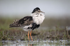 Ruff, Philomachus pugnax Stock Images