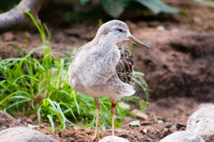 Ruff. (Philomachus pugnax), walking and looking for food Stock Photos