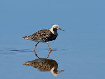 Ruff (Philomachus pugnax) Royalty Free Stock Photography