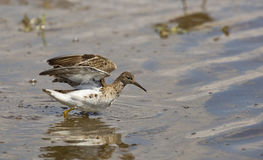 Ruff (Philomachus pugnax) Wings Wide Open. A ruff with wings wide open Royalty Free Stock Images