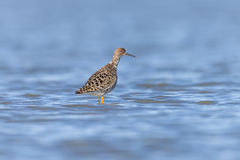 Ruff on a Pond. In an oasis of Piedmont Royalty Free Stock Image