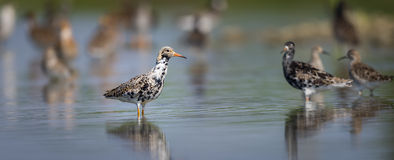Ruff on a Pond. In an oasis of Piedmont Stock Photography