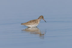 Ruff on a Pond. In an oasis of Piedmont Royalty Free Stock Photos