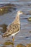 зима ruff pugnax plumage philomachus Стоковая Фотография