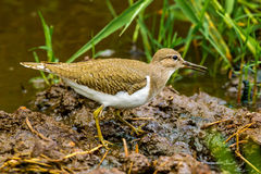 Ruff Sandpiper Stock Photography