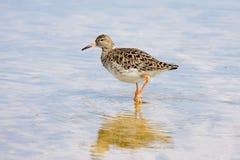 Ruff Wader Bird. A Ruff (Philomachus pugnax) in shallow water Royalty Free Stock Photo