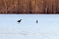 Ruff water bird Philomachus pugnax Ruff in water. Wildlife stock photography