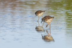 Ruff water bird Philomachus pugnax Ruff in water. Wildlife stock image