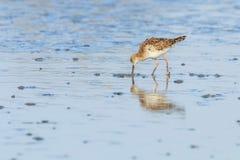Ruff water bird Philomachus pugnax Ruff in water. Wildlife stock photos